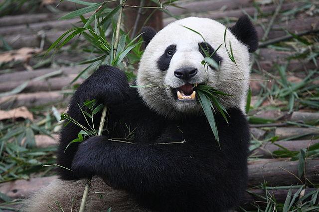 Giant_Panda_Eating - Wikipedia - by Chen Wu from Shanghai, China